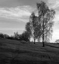 Trees - silver birch Royalty Free Stock Photo