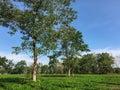 Trees on the tea field in Dak Lak, Vietnam Royalty Free Stock Photo
