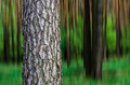 Trees tree trunks with blurred background Stock Image