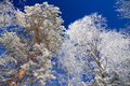 Trees in the winter covered with snow against blue sky Royalty Free Stock Photography