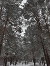 Trees in the winter forest Royalty Free Stock Photo