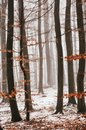 Wintertrees in the fog Royalty Free Stock Photo