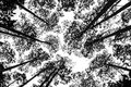 Treetops black and white picture of Royalty Free Stock Photos