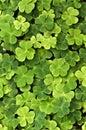Trefoils - forest vegetation Stock Images
