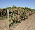 A Trellis-Dried Row Of Vines. Royalty Free Stock Photo
