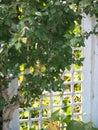 Trellis a white garden at entranceway with tree weaving through it Royalty Free Stock Photos