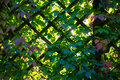 Trellis work and green leaves of virginia creeper against the rays setting sun late september Stock Image