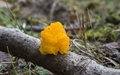 Tremella mesenterica Royalty Free Stock Images