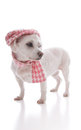 Trendy dog wearing cap and scarf fashionable pet a pink houndstooth winter matching hat white background Royalty Free Stock Photo