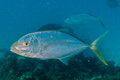 Trevally Royalty Free Stock Photo