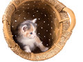 Tri color kitten in a basket isolated on white background Royalty Free Stock Images