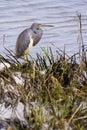 Tri colored heron Stock Photo