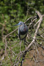 Tri colored heron a on a limb Royalty Free Stock Photos