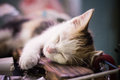 Tri colors cat little white sleep Royalty Free Stock Image