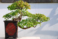 Triangle Maple Bonsai