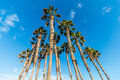 Triangular-Shaped Group of Palm Trees Royalty Free Stock Photo