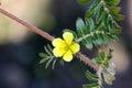 Tribulus terrestris, caltrop, puncture vine Royalty Free Stock Photo