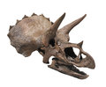 Triceratops dinosaur skull isolated. Royalty Free Stock Photo