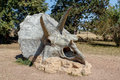 Triceratops fossil skeleton over natural background prehistoric dinosaur Royalty Free Stock Photo