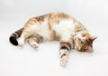 Tricolor cat with green eyes lying on gray background Royalty Free Stock Photo