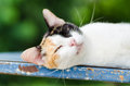 Tricolor cat lay down and sleeping