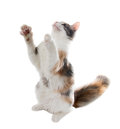 Tricolor cat playing with raised forepaws isolated on white background Royalty Free Stock Photo