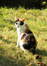 Tricolor cat sitting in the garden on sunny autumn day Stock Images