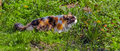 Tricolor cat walking on grass Stock Photo