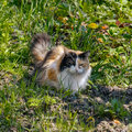 Tricolor cat walking on grass Stock Photography
