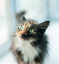 Tricolor cat young close up Stock Photo