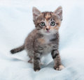 Tricolor fluffy kitten carefully sneaks up on blue background Stock Photo
