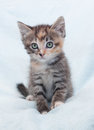 Tricolor fluffy kitten sits and looks hurt on blue background Royalty Free Stock Image