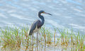 Tricolor heron art in a marsh Stock Photography
