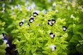 Tricolor pansy flower plant natural background Stock Photo
