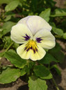 Tricolor pansy flower plant natural background summer time Stock Images