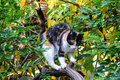 Tricolor pet calico cat Royalty Free Stock Photography