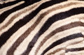 Tricolor zebra stripes close up of skin with brown black and white Royalty Free Stock Photo