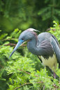 Tricolored heron Royalty Free Stock Photo