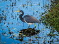 Tricolored Heron Royaltyfri Foto