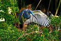 Tricolored heron Royaltyfria Foton