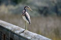 Tricolored heron bird side view of on wooden fence looking over shoulder with florida marsh land in background u s a Royalty Free Stock Photo