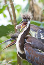 Tricolored Heron chick Royalty Free Stock Photo