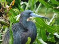 Tricolored Heron (Egretta tricolor) Royalty Free Stock Photo