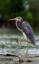 Tricolored heron egretta tricolor wading in shallow water the formerly known north america as Royalty Free Stock Images