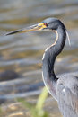 Tricolored Heron - Everglades N Royalty Free Stock Images