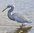 Tricolored heron feeding in florida wetland Stock Photo
