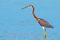 Tricolored heron feeding in the marsh Stock Photo