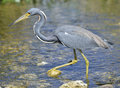 Tricolored heron in florida wetland Royalty Free Stock Photos