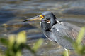 Tricolored Heron Stalking its Prey Royalty Free Stock Image