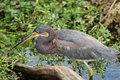 Tricolored Heron Stalking its Prey Stock Image